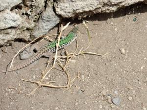 Pompeii Lizard