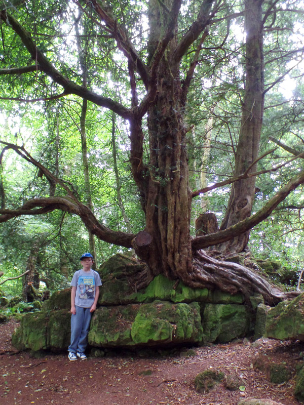 A magical tree at Puzzlewood